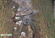 Tarantula @ El Yunque National Forest - Photo by Hilda Morales